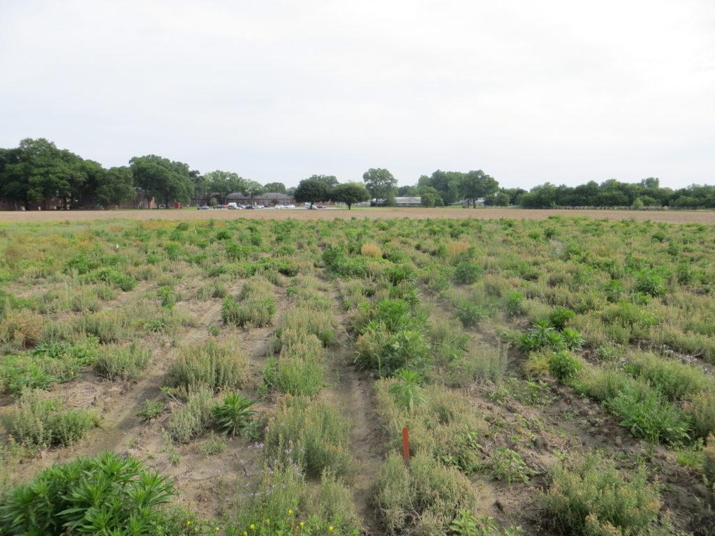 stevia field