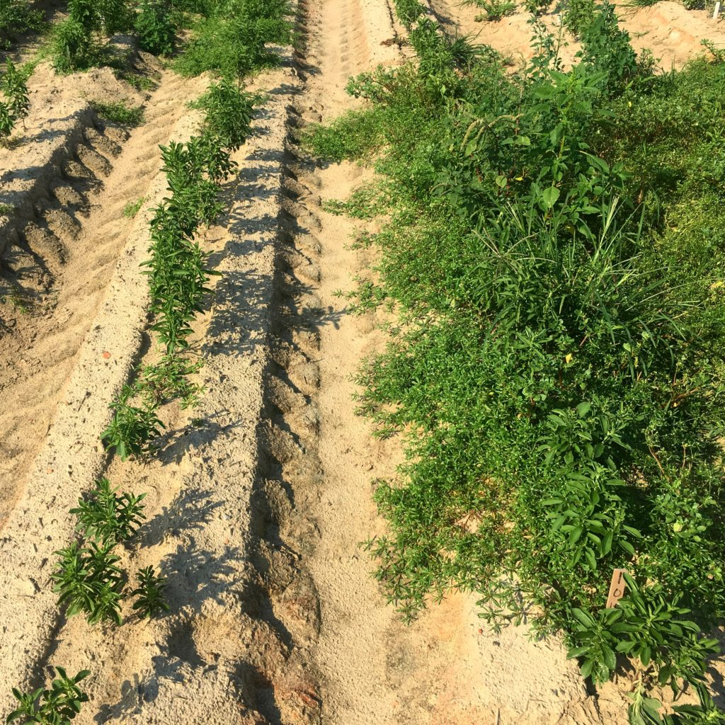 Image of a row of stevia plants